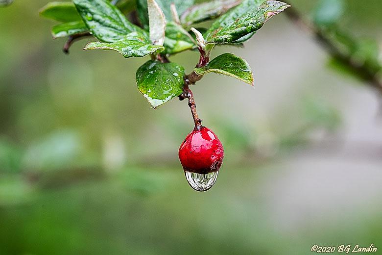 Berberisbär med vattendroppe