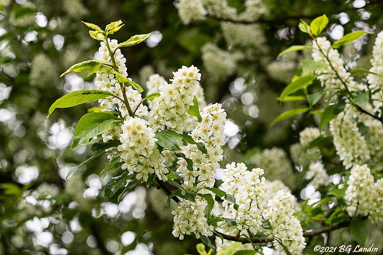 Blommande hägg