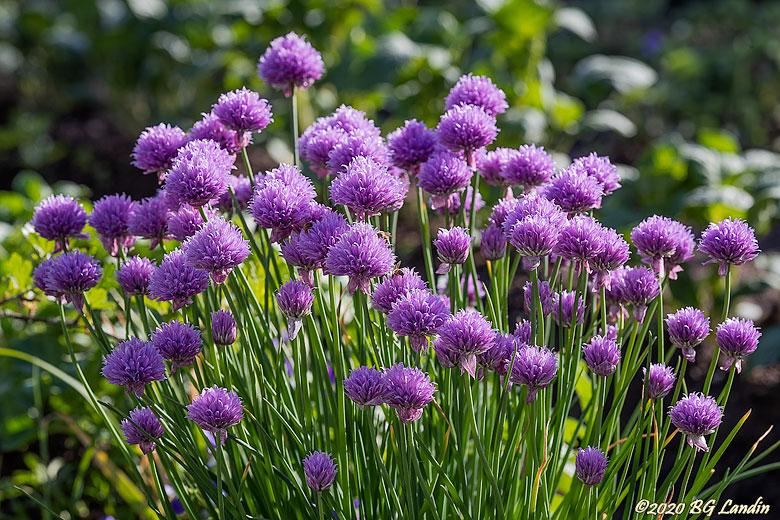 Blommande gräslök