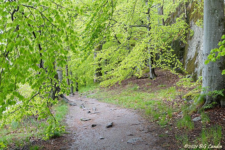 En bokskog på våren