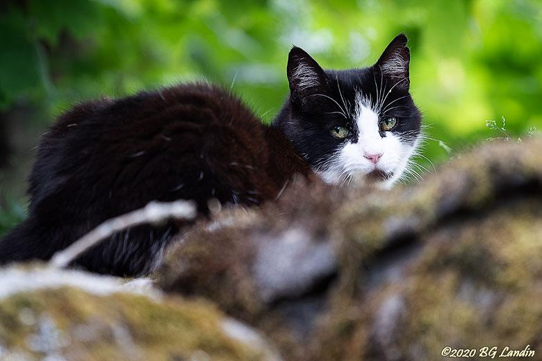 Katt på stenmur
