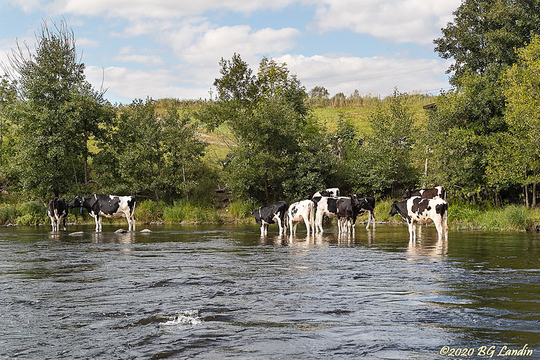 Kor i Säveån