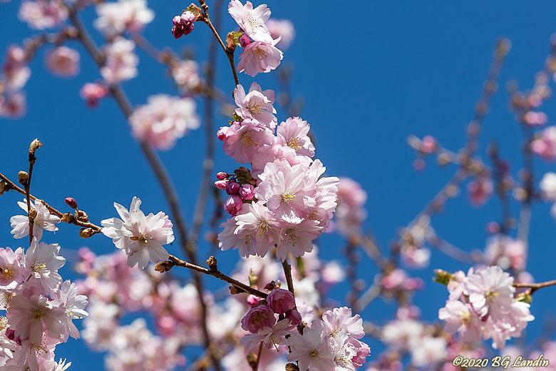 Härliga körsbärsblommor