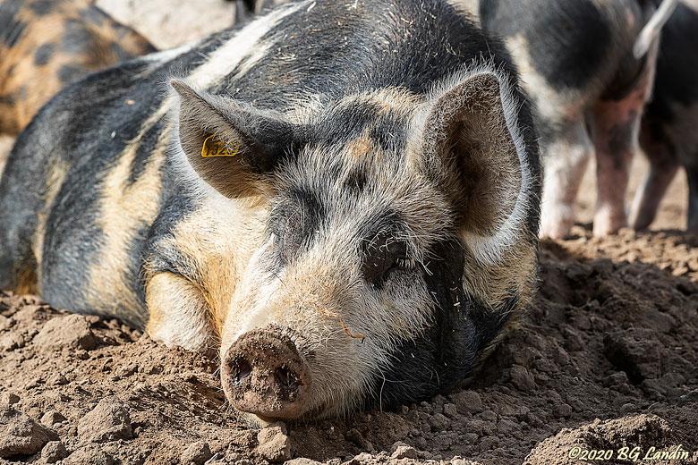 Ett riktigt svin