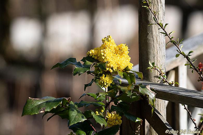Mahonia -  nordens mimosa
