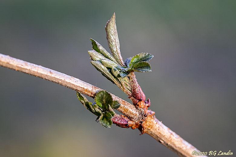 Nyutspruckna blad