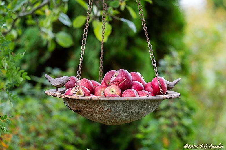 Hängande röda äpplen