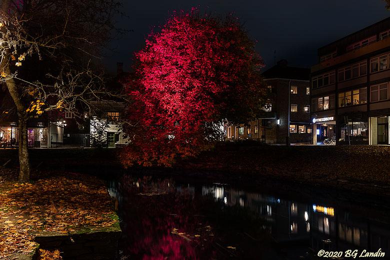 Rött träd vid Lillån