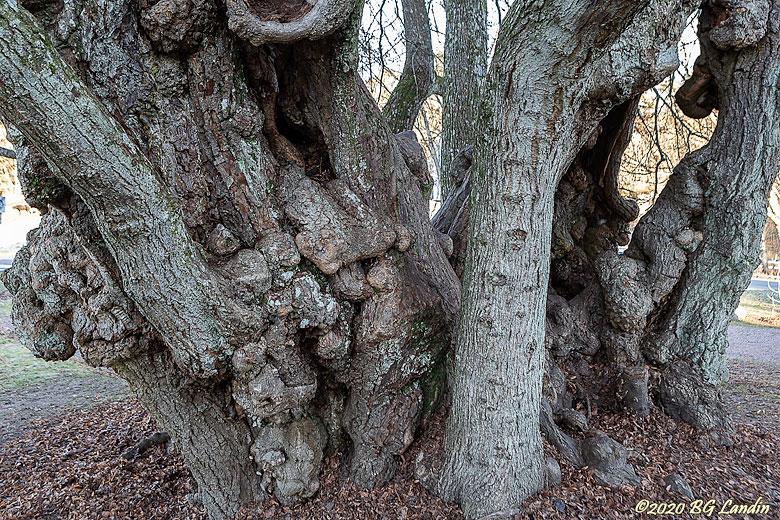 Mycket gammal skogslind