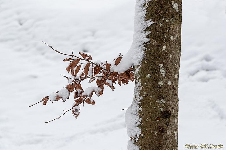 Snöprytt träd på Nolhaga berg