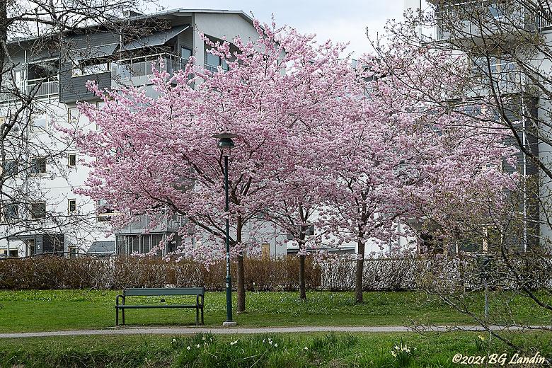 Tre blommande körsbärsträd