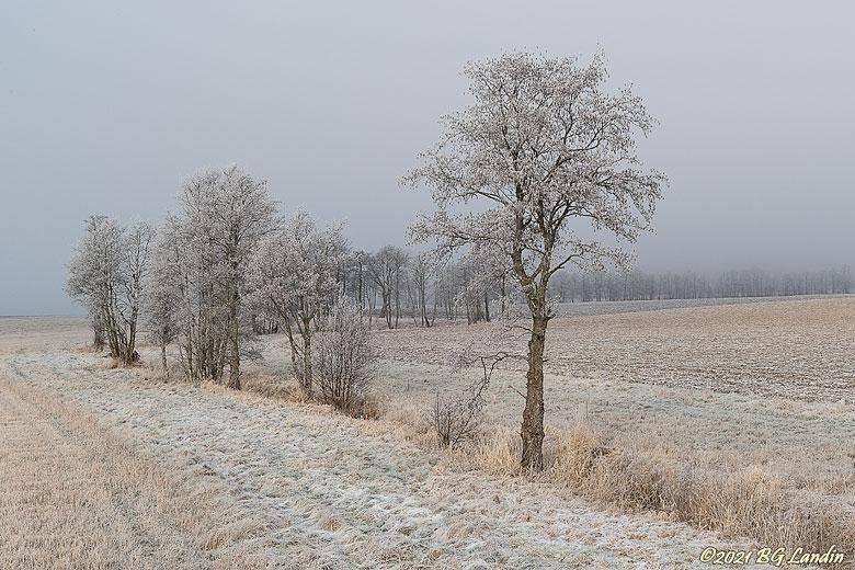 Frostiga träd på Tunhemsslätten