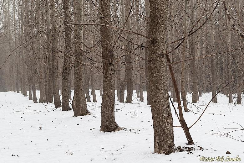 Träd i långa rader
