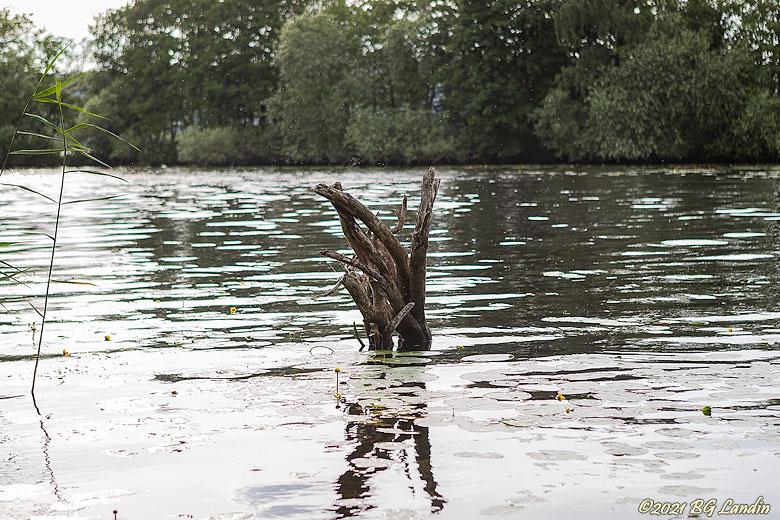 Trädstammar i vattenmiljö
