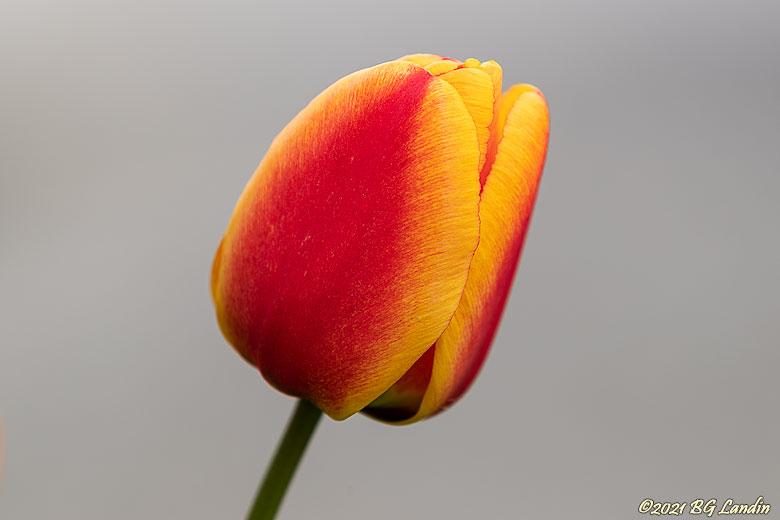 När tulpanerna blommar