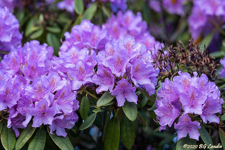 Väldoftande rhododendron