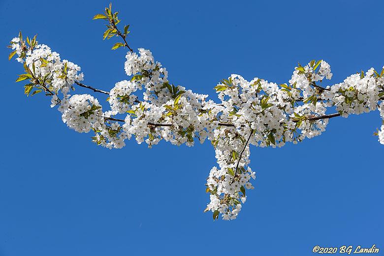 Vita körsbärsblommor