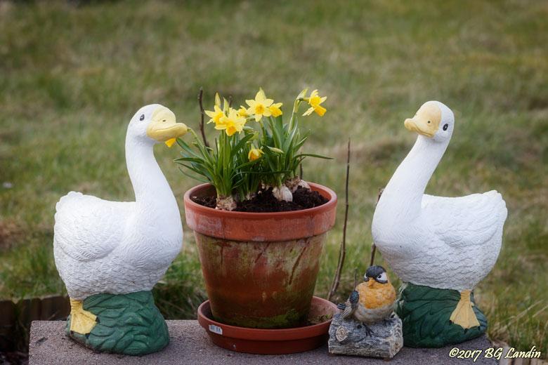 Vita ankor och gula påskliljor
