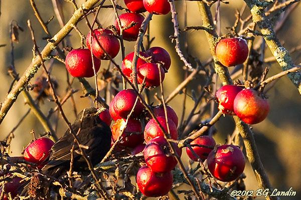 Den lille äppletjuven