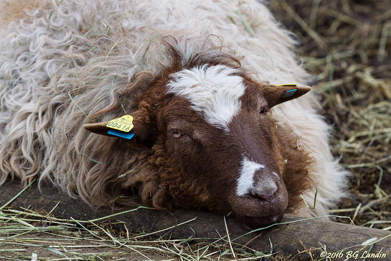 Avslappnat får