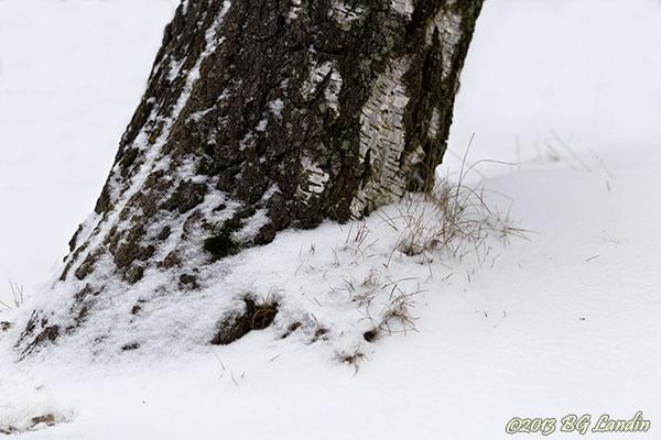 Björkstam i snö