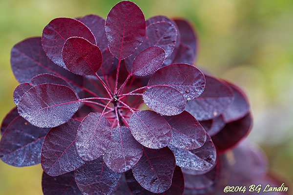 Små vattendroppar på blodröda blad