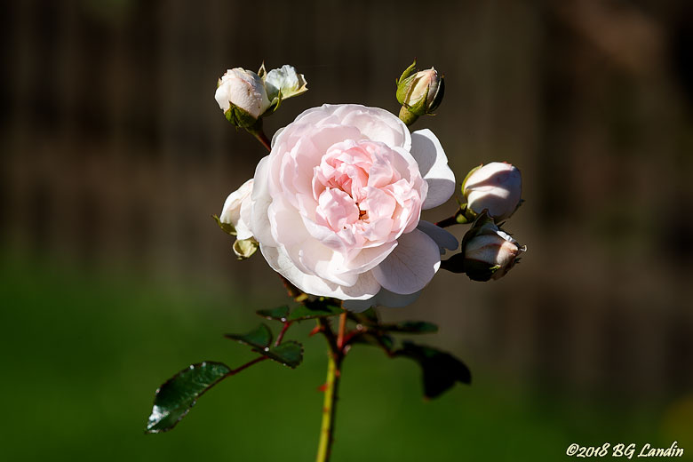Generöst blommande ros