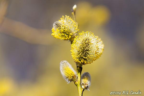 Blommande sälg