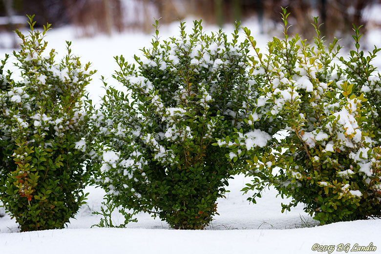 Snödekorerad buxbom