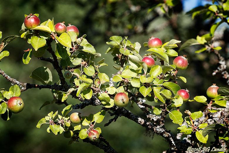 Rödgröna små äpplen
