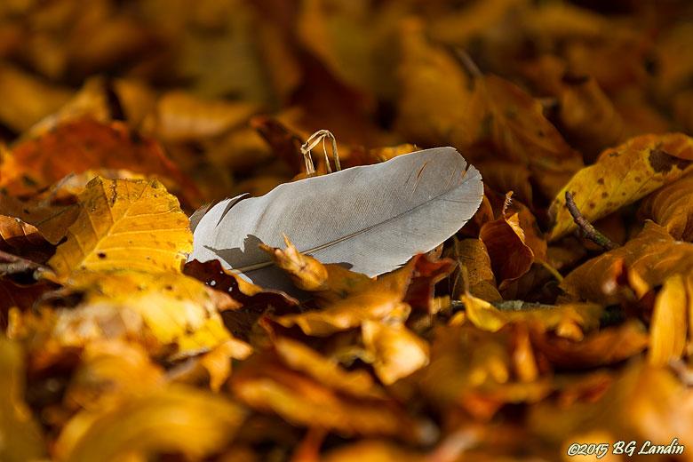 En fjäder i löven