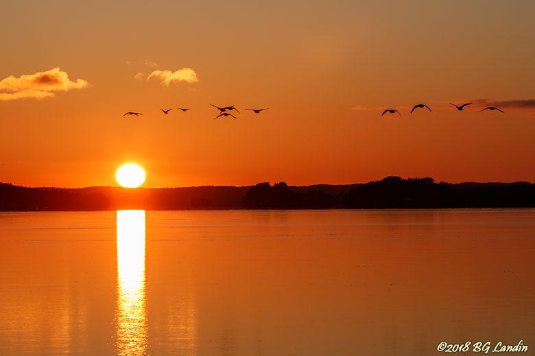Flygande gäss i solnedgång