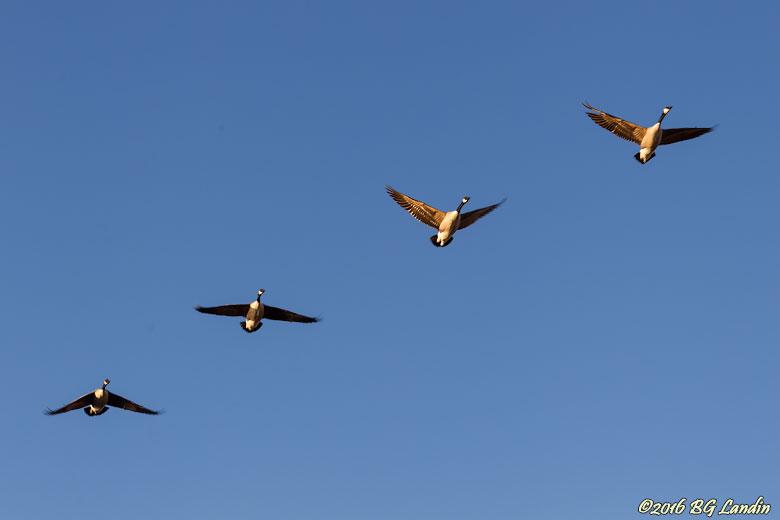 Flygande kanadagäss