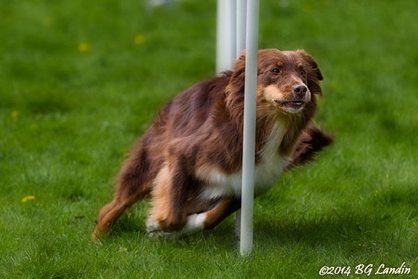 Fokuserad vallhund