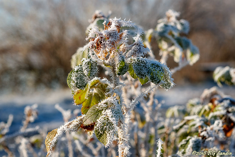 Frostig nyponbuske