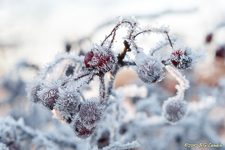 Frostiga rundhagtorn