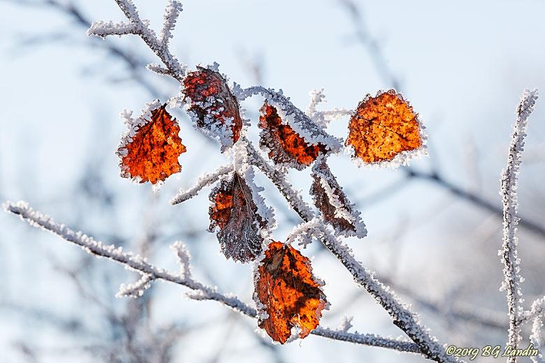 Frostiga vinterlöv