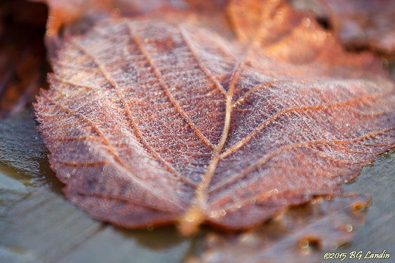 Frostigt blad