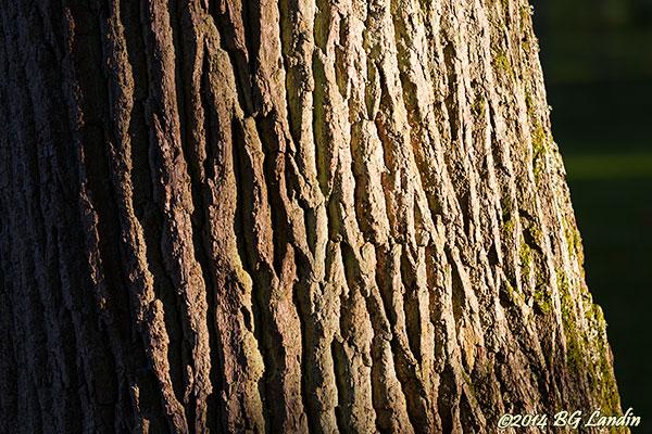 Riktigt gammal bark