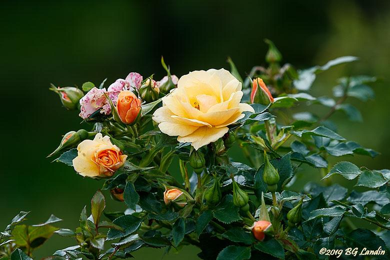 En gul ros
