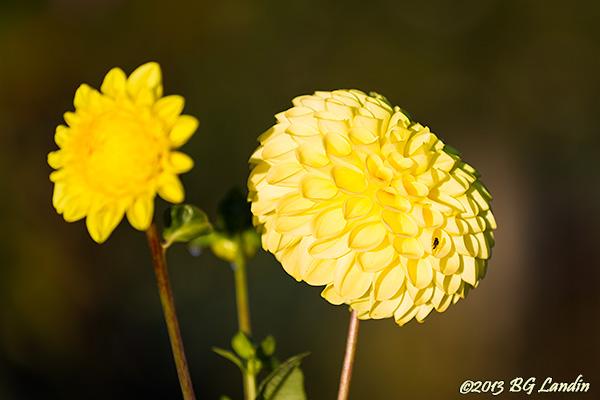 Gula blommor i höstträdgården