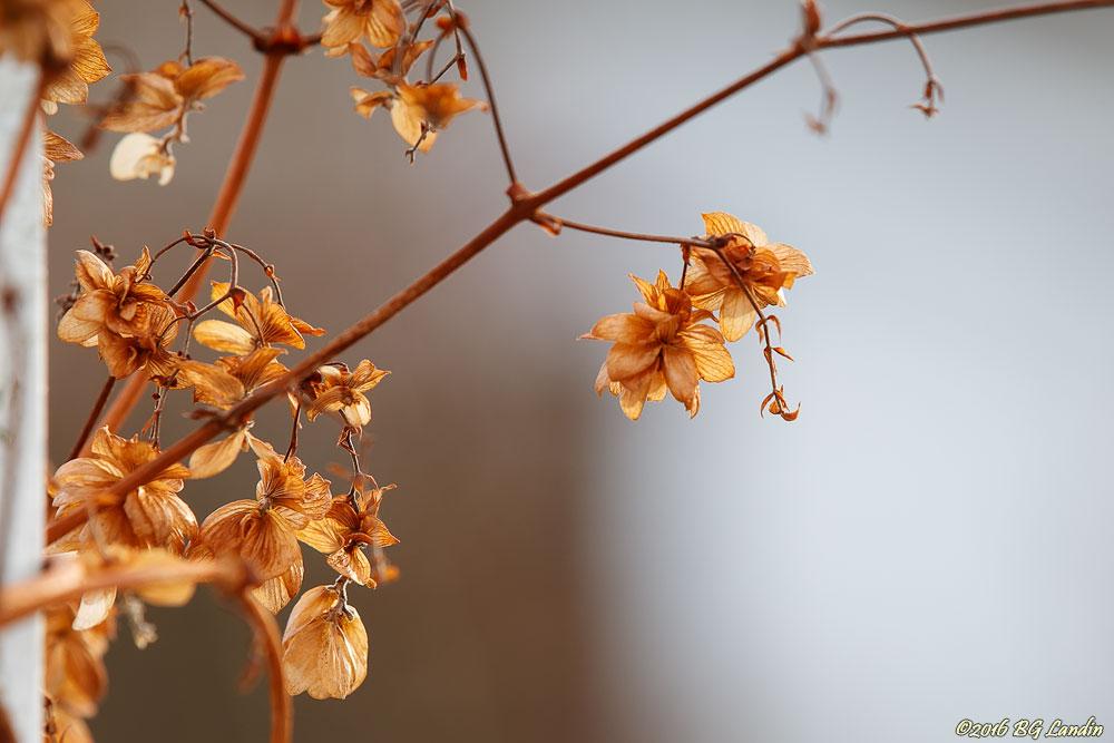 Gyllene överblommade blomställningar