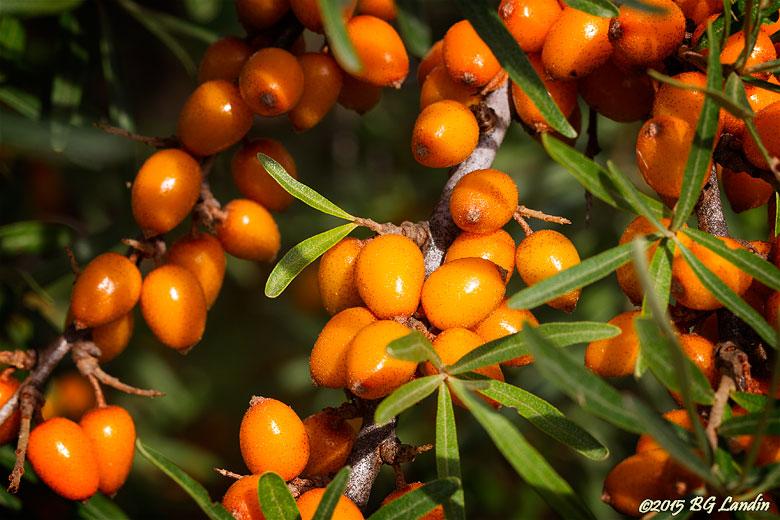 Havtorn - en C-vitaminbomb
