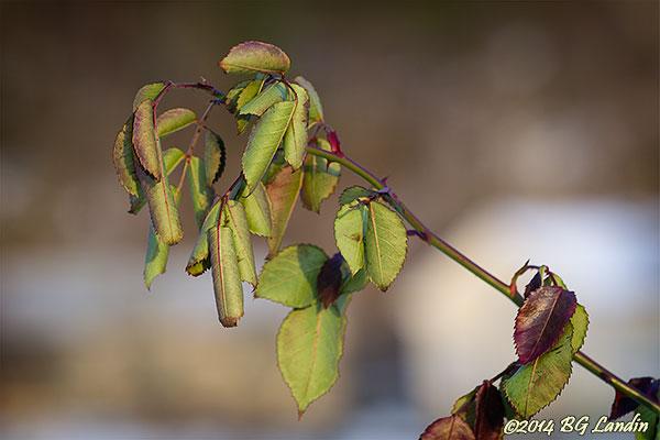 Hoprullade blad