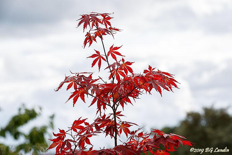 Rött bladverk