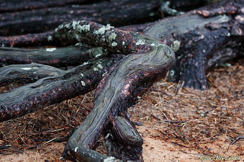 Knotiga rötter vid Sävens strand