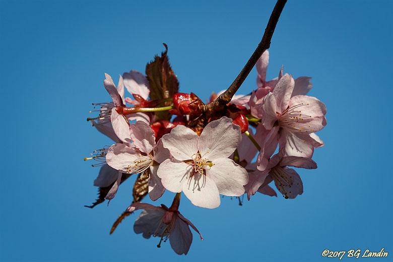 Rosavita körsbärsblommor