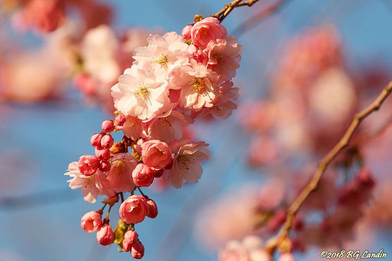 Körsbärsblommans tid