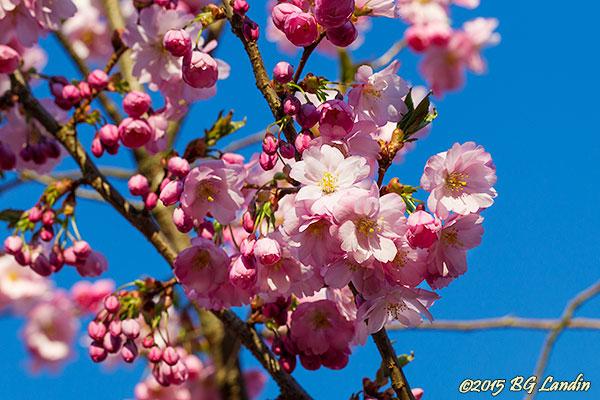 Sakura - Körsbärsblomma