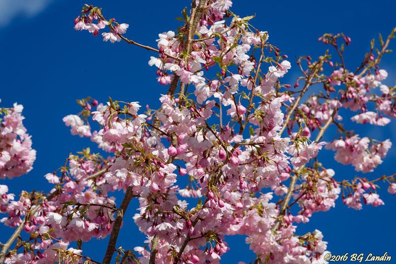 Sakura - Japanska körsbärsblommor